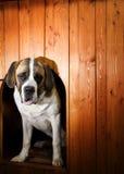 όμορφο σκυλί ST bernard Στοκ φωτογραφίες με δικαίωμα ελεύθερης χρήσης