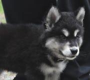 Όμορφο σκυλί κουταβιών Alusky μωρών με τα γραπτά σημάδια Στοκ φωτογραφίες με δικαίωμα ελεύθερης χρήσης