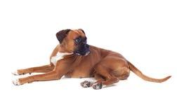Όμορφο σκυλί μπόξερ Στοκ εικόνες με δικαίωμα ελεύθερης χρήσης