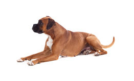 Όμορφο σκυλί μπόξερ Στοκ Εικόνες