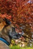Όμορφο σκυλί, όμορφο δέντρο, παλαιό δέντρο οξιών Στοκ φωτογραφίες με δικαίωμα ελεύθερης χρήσης