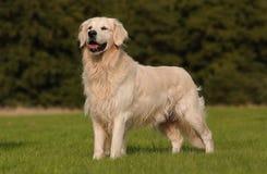 Όμορφο σκυλί, Retriever του Λαμπραντόρ Στοκ εικόνες με δικαίωμα ελεύθερης χρήσης