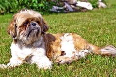 Όμορφο σκυλί - Shih Tzu Στοκ Φωτογραφία