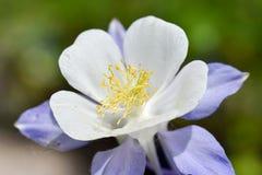 όμορφο στενό λουλούδι επάνω Caerula Aquilegia μπλε θεϊκός Στοκ Εικόνα