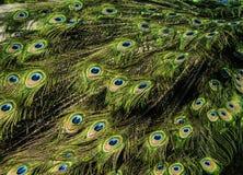 Όμορφο σχέδιο των ζωηρόχρωμων φτερών ουρών peacock στοκ φωτογραφία με δικαίωμα ελεύθερης χρήσης