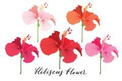 Όμορφο σύνολο λουλουδιών Τροπική συλλογή χρώματος λουλουδιών φωτεινή Hibiscus ανθίζουν τη ρεαλιστική διανυσματική εικόνα στο διάφ Στοκ Εικόνα