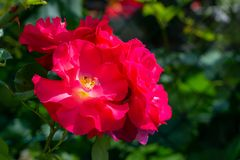 Όμορφο σύνολο ρόδινων τριαντάφυλλων στοκ φωτογραφία με δικαίωμα ελεύθερης χρήσης