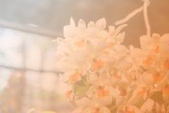 Όμορφο ταϊλανδικό λουλούδι ορχιδεών backround Στοκ Εικόνες