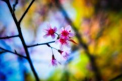 Όμορφο ταϊλανδικό sakura Στοκ Εικόνες