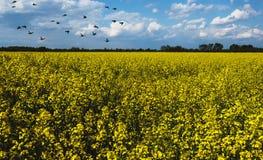 Όμορφο τοπίο με τα κίτρινα λουλούδια ελαιοσπόρων Στοκ Φωτογραφίες