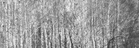 Όμορφο τοπίο με τις σημύδες Στοκ φωτογραφία με δικαίωμα ελεύθερης χρήσης