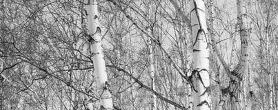 Όμορφο τοπίο με τις σημύδες Στοκ Εικόνα