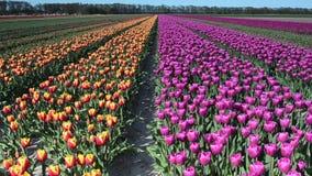 Όμορφο τοπίο με τις τουλίπες σε έναν τομέα στην Ολλανδία Πλήρες βίντεο HD (υψηλός καθορισμός) απόθεμα βίντεο