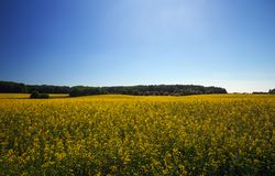 Όμορφο τοπίο με τον τομέα του κίτρινου napus κραμβολαχάνου canola Στοκ Εικόνες