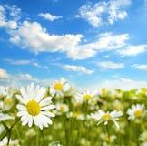 Όμορφο τοπίο με camomile ενάντια στον ουρανό (φυσικό backg Στοκ Εικόνες