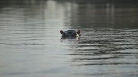 Όμορφο τοπίο Το hippopotamus προεξέχει το ρύγχος του από το νερό, εξετάζει τη κάμερα στην Αφρική στοκ εικόνες