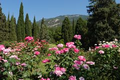 Όμορφο τοπίο των θαυμάσιων θάμνων των φωτεινών τριαντάφυλλων τσαγιού που αυξάνεται στην πράσινη χλόη μεταξύ των δέντρων ενάντια Στοκ Εικόνα