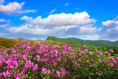 Όμορφο τοπίο των ρόδινων rhododendron λουλουδιών και του μπλε ουρανού στα βουνά, Hwangmaesan στην Κορέα Στοκ Φωτογραφίες
