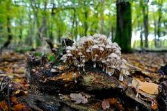 Όμορφο τοπίο φθινοπώρου με την ανάπτυξη των μανιταριών enoki σε ένα rotte Στοκ εικόνες με δικαίωμα ελεύθερης χρήσης