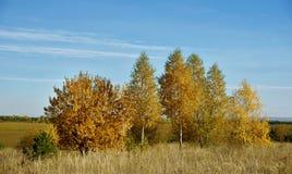 Όμορφο τοπίο φθινοπώρου με τις σημύδες στον τομέα Στοκ Φωτογραφίες