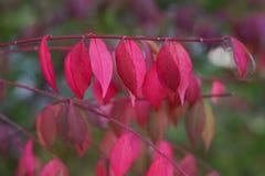 Όμορφο τοπίο φθινοπώρου με τον κόκκινους κλάδο και τον ήλιο Ζωηρόχρωμο φύλλωμα στο πάρκο Φυσικό υπόβαθρο φύλλων στοκ φωτογραφίες