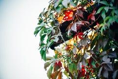 Όμορφο τοπίο φύσης με τα ζωηρόχρωμα άγρια φύλλα και τα μούρα σταφυλιών ενάντια στον μπλε ουρανό φθινοπώρου στοκ φωτογραφία
