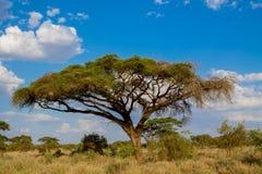 Όμορφο τοπίο tortilis ακακιών ακακιών αγκαθιών ομπρελών της Αφρικής στοκ εικόνες