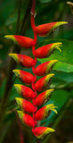 Όμορφο τροπικό κόκκινο λουλούδι Η ασυνήθιστη μορφή χλωρίδα Στοκ Φωτογραφίες