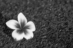 Όμορφο τροπικό frangipani λουλουδιών Στοκ Φωτογραφίες