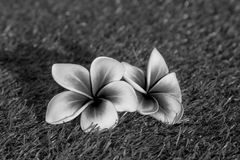 Όμορφο τροπικό frangipani λουλουδιών Στοκ εικόνες με δικαίωμα ελεύθερης χρήσης