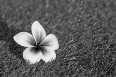 Όμορφο τροπικό frangipani λουλουδιών Στοκ φωτογραφία με δικαίωμα ελεύθερης χρήσης