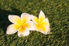 Όμορφο τροπικό frangipani λουλουδιών Στοκ Εικόνα
