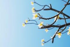 όμορφο τροπικό plumeria λουλουδιών στο μπλε ουρανό Στοκ Φωτογραφίες