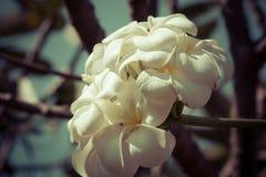 Όμορφο τροπικό plumeria frangipani λουλουδιών Στοκ Φωτογραφία