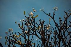Όμορφο τροπικό plumeria frangipani λουλουδιών Στοκ φωτογραφία με δικαίωμα ελεύθερης χρήσης