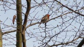 Όμορφο υγιές κόκκινο τραγούδι πουλιών τραγουδιού της Robin κοντά επάνω μέσω των κλάδων & των φύλλων απόθεμα βίντεο