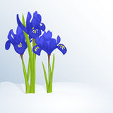 Όμορφο υπόβαθρο άνοιξη με Iridodictyum στο χιόνι για τα συγχαρητήρια με την άνοιξη ή την ημέρα των γυναικών Αφίσα διακοπών Στοκ εικόνα με δικαίωμα ελεύθερης χρήσης
