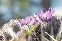 Όμορφο υπόβαθρο λουλουδιών άνοιξη ιώδες Στοκ εικόνα με δικαίωμα ελεύθερης χρήσης