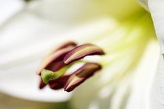Όμορφο υπόβαθρο μακρο βλασταημένη Λίλλη λουλουδιών Στοκ Φωτογραφία