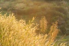 Όμορφο υπόβαθρο λουλουδιών καλάμων με το θερμό φως Στοκ Εικόνα