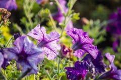 Όμορφο υπόβαθρο λουλουδιών, κινηματογράφηση σε πρώτο πλάνο του όμορφου muti-χρώματος φ Στοκ Φωτογραφίες