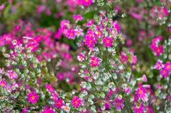 Όμορφο υπόβαθρο λουλουδιών των φωτεινών ρόδινων λουλουδιών Στοκ Εικόνα
