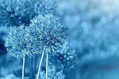Όμορφο υπόβαθρο σχεδίων άνοιξη με το μπλε λουλούδι Κλείστε επάνω allium του λουλουδιού Στοκ φωτογραφία με δικαίωμα ελεύθερης χρήσης