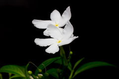 Όμορφο υπόβαθρο των άσπρων λουλουδιών με Στοκ φωτογραφία με δικαίωμα ελεύθερης χρήσης