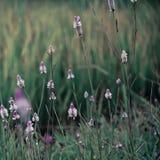 Όμορφο υπόβαθρο των ιωδών άγριων λουλουδιών χρώματος με τη μαλακή θαμπάδα από το υπόβαθρο εστίασης Στοκ Εικόνα