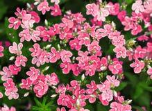 Όμορφο υπόβαθρο των ρόδινων μικρών λουλουδιών σε ένα λιβάδι το καλοκαίρι Στοκ εικόνα με δικαίωμα ελεύθερης χρήσης