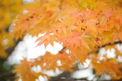 Όμορφο υπόβαθρο φθινοπώρου, πολύχρωμο του δέντρου σφενδάμνου στο shinjuk Στοκ Εικόνες
