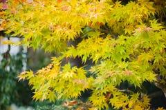 Όμορφο υπόβαθρο φθινοπώρου, πολύχρωμο του δέντρου σφενδάμνου στο shinjuk Στοκ Φωτογραφίες