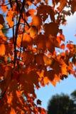 Όμορφο φθινόπωρο Ο ήλιος λάμπει μέσω του σφενδάμνου βγάζει φύλλα Στοκ Εικόνες