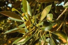 Όμορφο φρέσκο ηλιόλουστο φυσικό υπόβαθρο με το βεραμάν φύλλο αναδρομικά φωτισμένο από τον ήλιο σε ένα πράσινο στοκ φωτογραφία με δικαίωμα ελεύθερης χρήσης